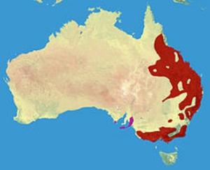 Koala range (red – native, purple – introduced)